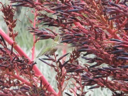 Huntington humming bird 2